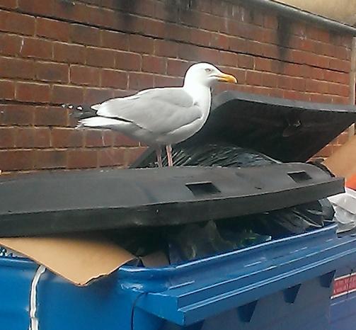 malignant gull