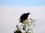 crow eyrie 5