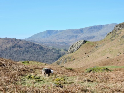 Loughrigg (with herdwick gimmer): March 2019