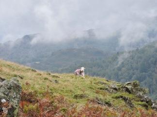 Herdwick sheep, near Langdale