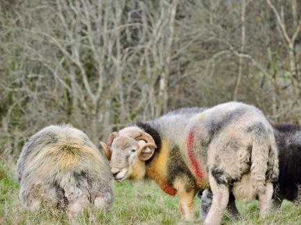 Herdwick ram and sheep